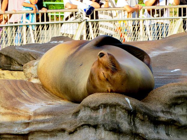 東山動植物園 2018年8月 No - 29:ぐっすり寝ていたアシカ