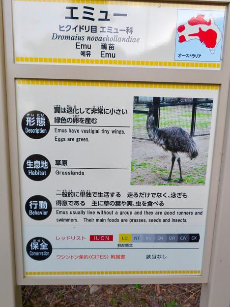 東山動植物園 2018年8月 No - 32:エミューの説明(泳ぎも得意!?)