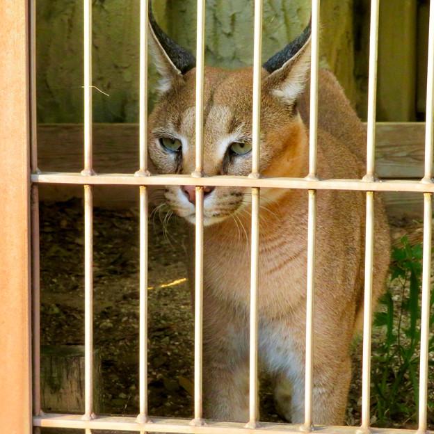 東山動植物園 2018年8月 No - 36:尖った耳を持つネコ科動物「カラカル」