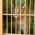 Photos: 東山動植物園 2018年8月 No - 36:尖った耳を持つネコ科動物「カラカル」