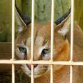 写真: 東山動植物園 2018年8月 No - 37:尖った耳を持つネコ科動物「カラカル」