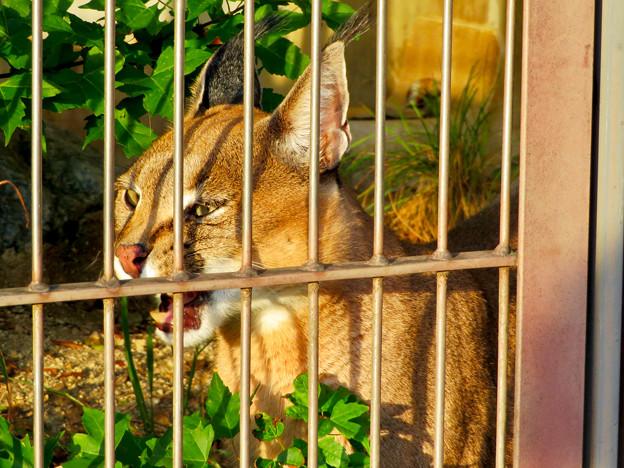 東山動植物園 2018年8月 No - 38:尖った耳を持つネコ科動物「カラカル」