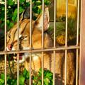 写真: 東山動植物園 2018年8月 No - 38:尖った耳を持つネコ科動物「カラカル」