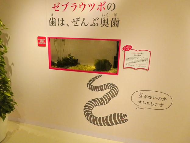 ざんねんないきもの展 2018 No - 16:ゼブラウツボ