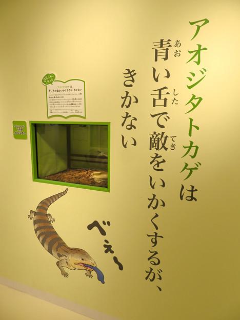 ざんねんないきもの展 2018 No - 39:アオジタトカゲ(オオアオジタトカゲ)