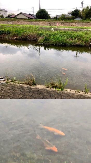 「Camera7」で撮影した内津川の鯉 - 2