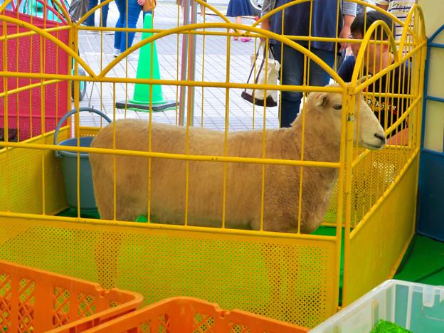 久屋大通公園:動物フェスティバル 2018 No - 16(ヒツジ)