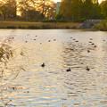 夕暮れ時、集まって泳ぐ落合池のカモ - 1