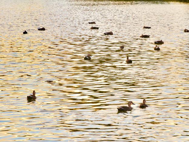 夕暮れ時、集まって泳ぐ落合池のカモ - 2