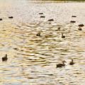 写真: 夕暮れ時、集まって泳ぐ落合池のカモ - 2