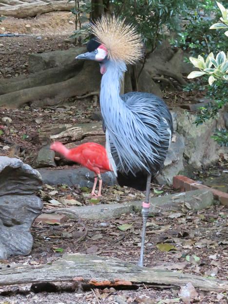 東山動植物園バードホール:1本脚立ちするホオジロカンムリヅル - 1