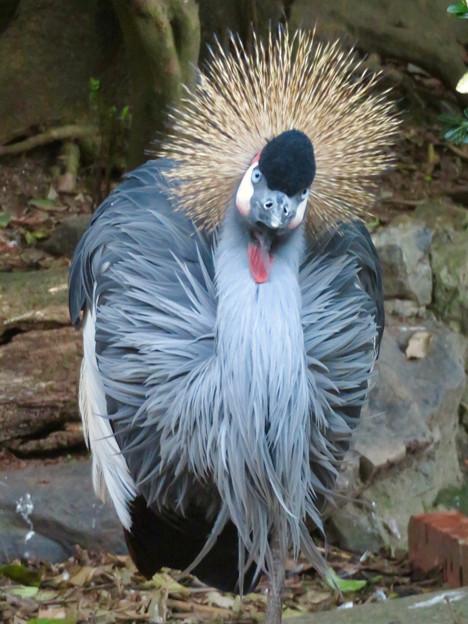 東山動植物園バードホール:1本脚立ちするホオジロカンムリヅル - 3