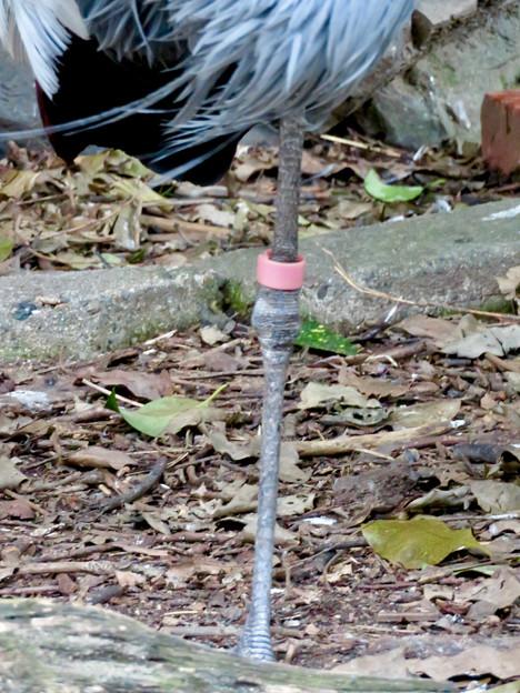 東山動植物園バードホール:1本脚立ちするホオジロカンムリヅル - 4