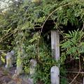 写真: 藤棚だけが残されてた旧・清流亭(2018年10月) - 3