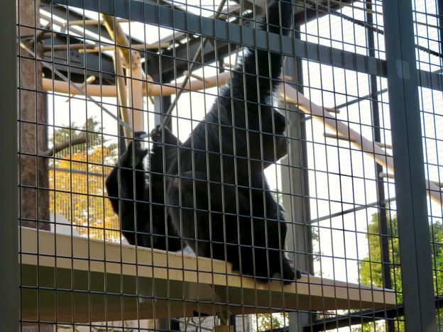 東山動植物園(2018年10月) - 12:フクロテナガザル