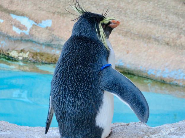 東山動植物園(2018年10月) - 24:イワトビペンギンの後ろ姿