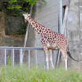 東山動植物園(2018年10月) - 25:アミメキリン