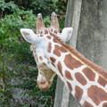 東山動植物園(2018年10月) - 26:アミメキリンの後頭部