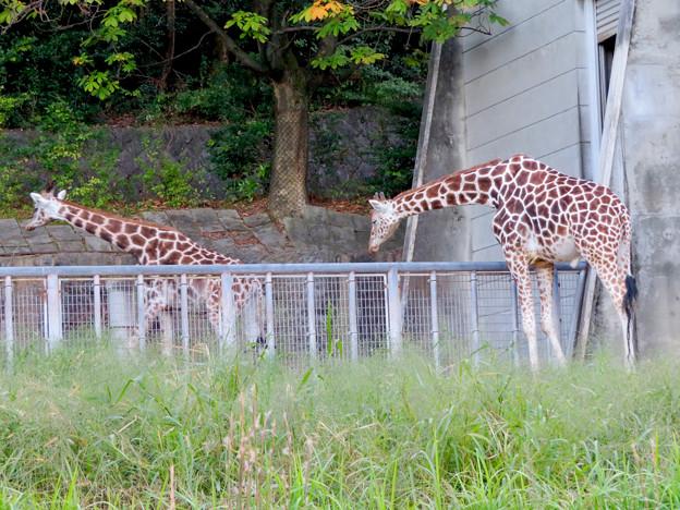東山動植物園(2018年10月) - 27:アミメキリンの親子