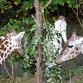 東山動植物園(2018年10月) - 29:食事中のアミメキリン