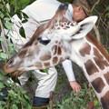 東山動植物園(2018年10月) - 30:食事中のアミメキリン