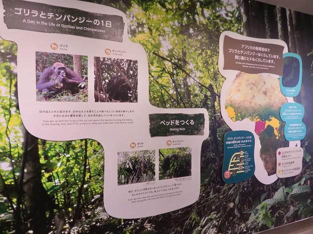 東山動植物園:新ゴリラ・チンパンジー舎 - 9(ゴリラとチンパンジーの1日ほか)