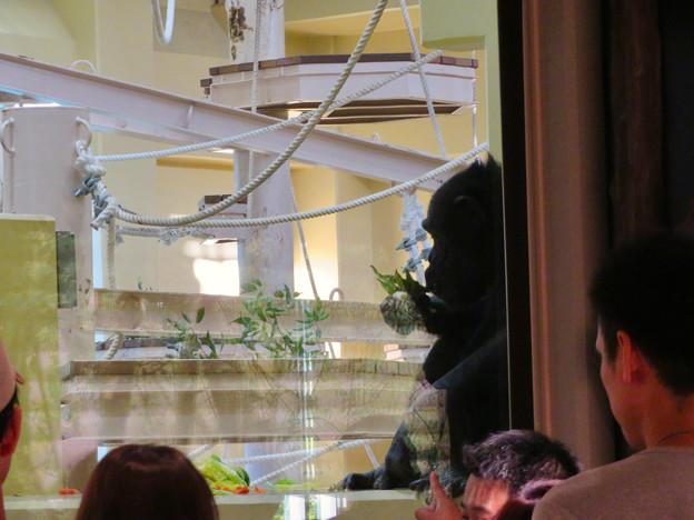 東山動植物園:新ゴリラ・チンパンジー舎 - 13(チンパンジー)