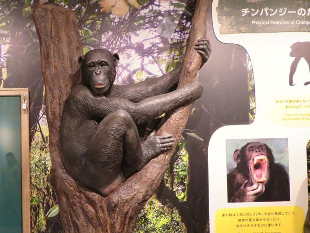 東山動植物園:新ゴリラ・チンパンジー舎 - 14(チンパンジー像)