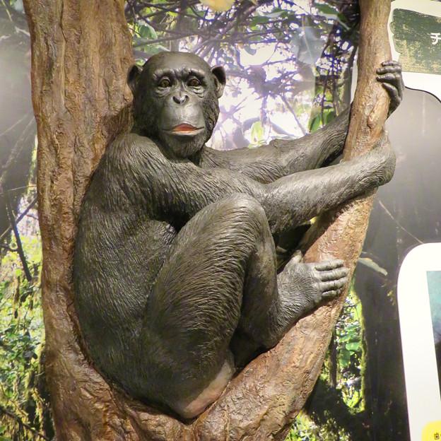 東山動植物園:新ゴリラ・チンパンジー舎 - 15(チンパンジー像)