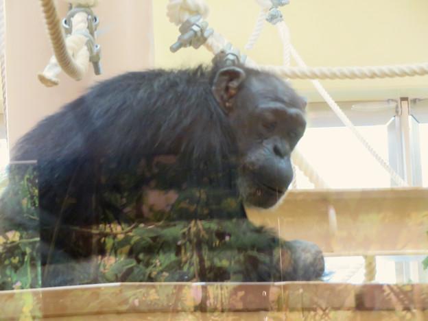 東山動植物園:新ゴリラ・チンパンジー舎 - 23(チンパンジー)
