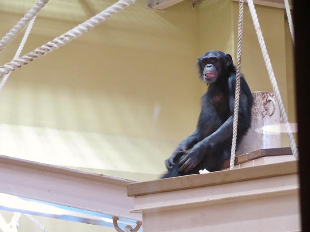 東山動植物園:新ゴリラ・チンパンジー舎 - 24(チンパンジー)