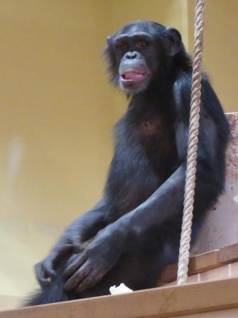 東山動植物園:新ゴリラ・チンパンジー舎 - 25(チンパンジー)