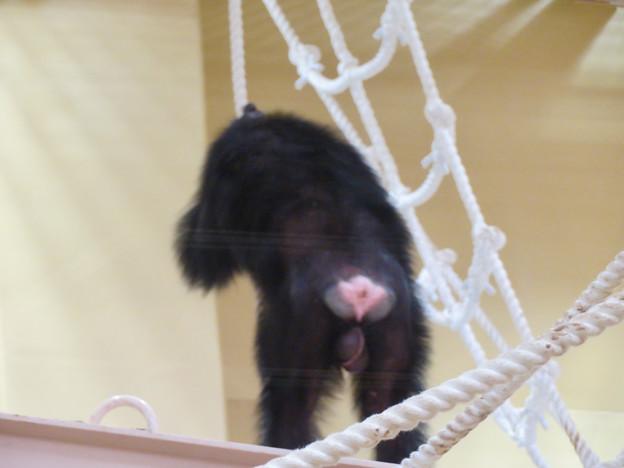 東山動植物園:新ゴリラ・チンパンジー舎 - 26(チンパンジーのお尻)