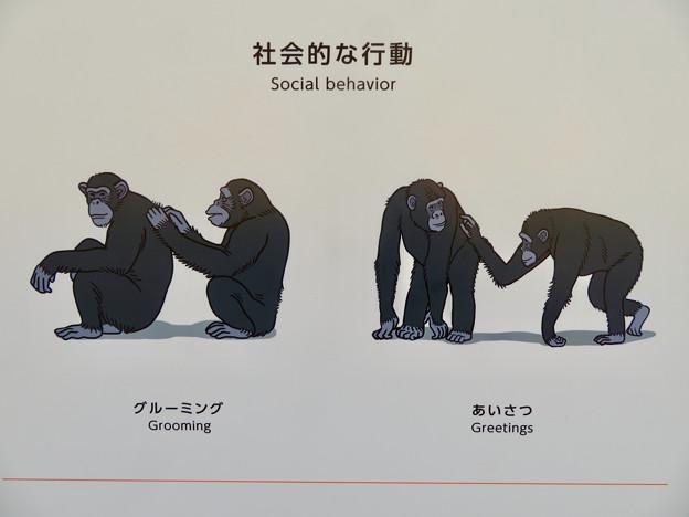 東山動植物園:新ゴリラ・チンパンジー舎 - 41(チンパンジーの社会的行動)