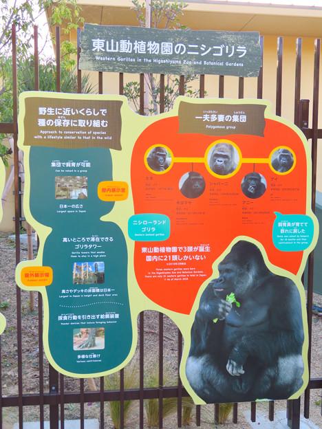 東山動植物園:新ゴリラ・チンパンジー舎 - 55(ゴリラの生態)