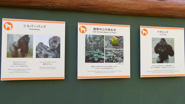 東山動植物園:新ゴリラ・チンパンジー舎 - 58(ゴリラの生態、ドラミングほか)