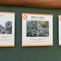 Photos: 東山動植物園:新ゴリラ・チンパンジー舎 - 58(ゴリラの生態、ドラミングほか)