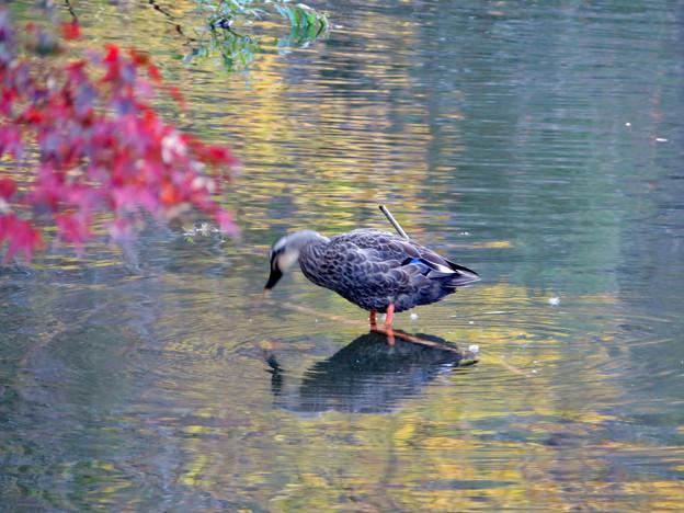 秋の定光寺公園 - 37:浅瀬に立つカモ