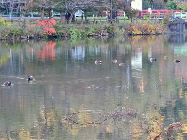 秋の定光寺公園 - 39:池でくつろぐ複数のカモ