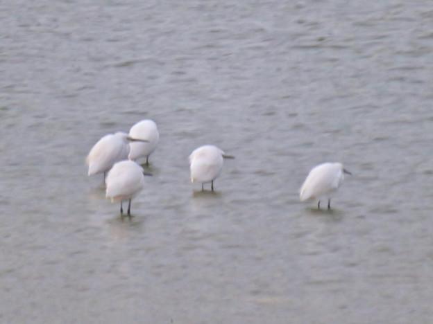秋の落合公園:寒そうに身をかがめてた池の鳥 - 2(シラサギ)