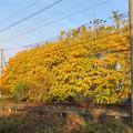 Photos: そぶえイチョウ黄葉まつり 2018 No - 35:名鉄尾西線沿いの黄葉