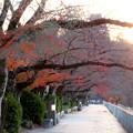 木曽川沿いの並木の紅葉 - 2