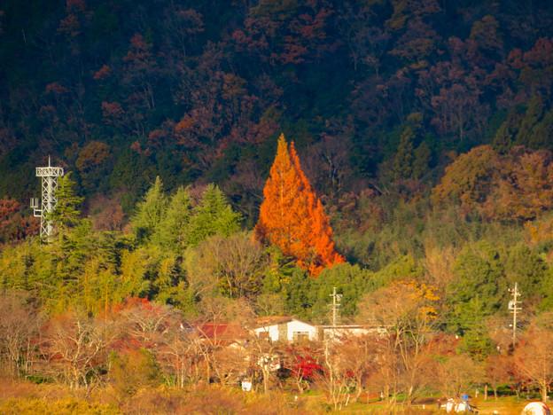 桃太郎神社辺りにあると思われる大きな赤い紅葉した木 - 1
