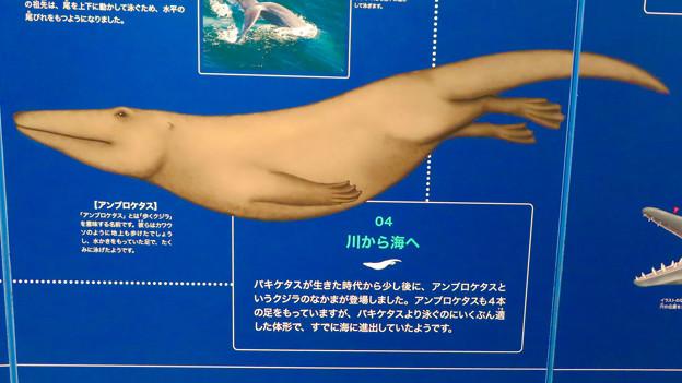 名古屋港水族館:クジラの祖先 - 2(アンブロケタス)