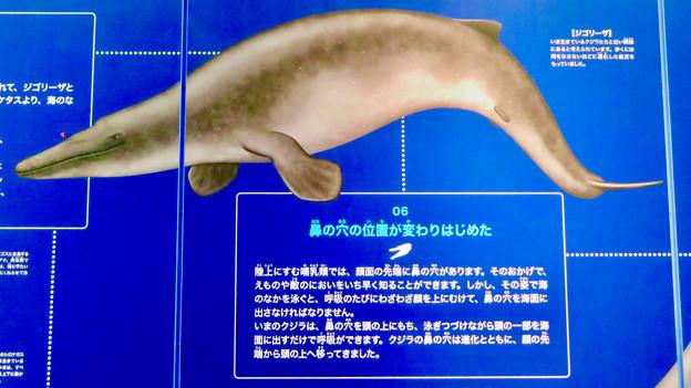 名古屋港水族館:クジラの祖先 - 3(ジゴリーザ)