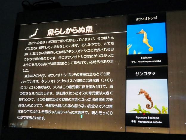 名古屋港水族館:これでも魚!?…な、「タツノオトシゴ」 - 1(説明)