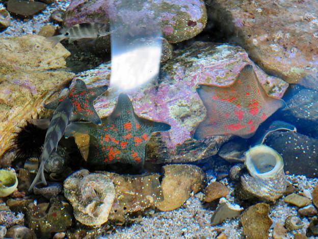 名古屋港水族館:星型のヒトデ - 1