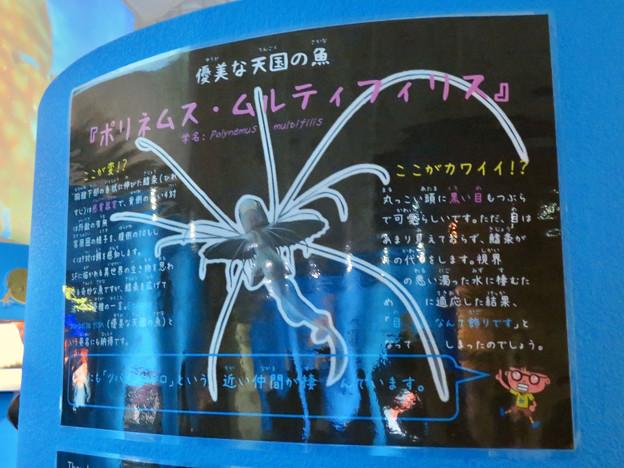 名古屋港水族館「へんカワ展」No - 23:ポリネムス・ムルティフィリスの説明