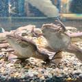名古屋港水族館「へんカワ展」No - 29:「カモォ~~ン!!」って感じのポーズしてたアフリカツメガエル