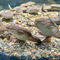 名古屋港水族館「へんカワ展」No - 30:「カモォ~~ン!!」って感じのポーズしてたアフリカツメガエル